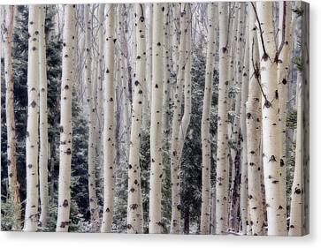 Usa, Utah Aspen Trees In Hell's Canvas Print