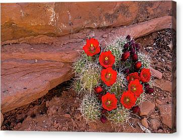 Usa, Utah, Cedar Mesa Canvas Print