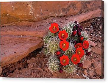 Usa, Utah, Cedar Mesa Canvas Print by Charles Crust