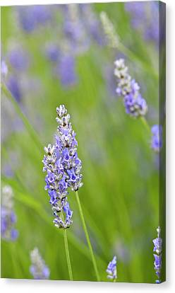 Usa, Wa Cultivated Worldwide Lavender Canvas Print by Trish Drury