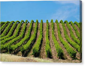 Usa, Washington, Rolling Vineyards Canvas Print by Terry Eggers