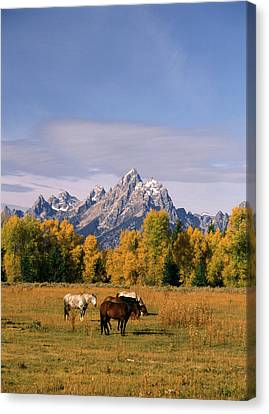 Usa, Wyoming, Horses In Grand Teton Canvas Print by Stuart Westmorland