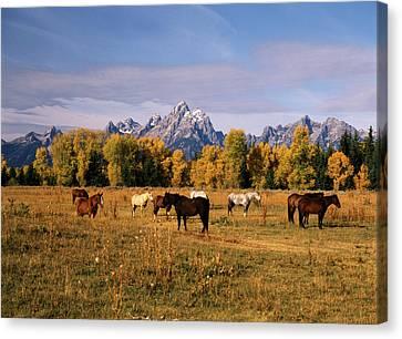 Moran Canvas Print - Usa, Wyoming, Horses On Moran Junction by Stuart Westmorland