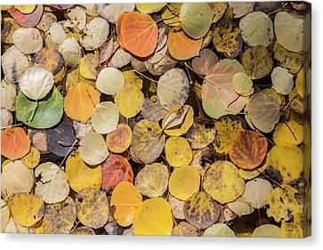 Populus Tremuloides Canvas Print - Usa, Wyoming, Sublette County, Autumn by Elizabeth Boehm