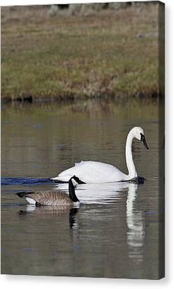 Gerry Canvas Print - Usa, Wyoming, Trumpeter Swan, Canada by Gerry Reynolds