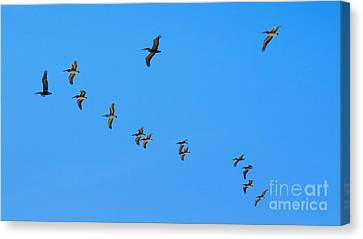 V-formation Canvas Print by Scott Cameron