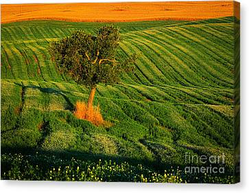 Val D'orcia Tree Canvas Print by Inge Johnsson
