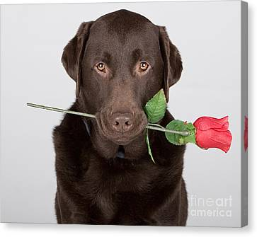 Valentine Dog Canvas Print by Justin Paget