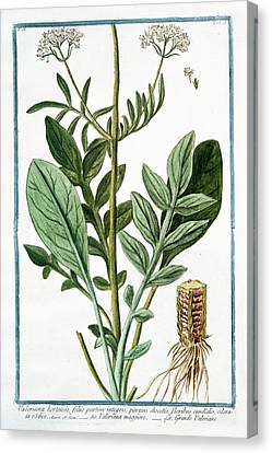Cesare Canvas Print - Valeriana Hortensis by Rare Book Division/new York Public Library