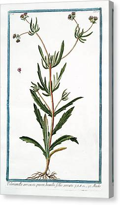 Cesare Canvas Print - Valerianella Arvensis by Rare Book Division/new York Public Library