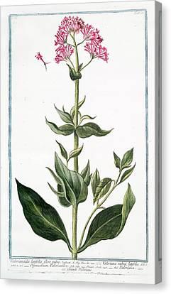 Cesare Canvas Print - Valerianoides Latifolia by Rare Book Division/new York Public Library