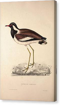 Vanellus Goensis, Plover Or Northern Lapwing. Birds Canvas Print