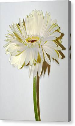Vanilla Sky Zinnia Canvas Print by Sherry Allen