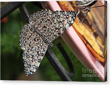 Canvas Print featuring the photograph Variable Craker Butterfly #2 by Judy Whitton