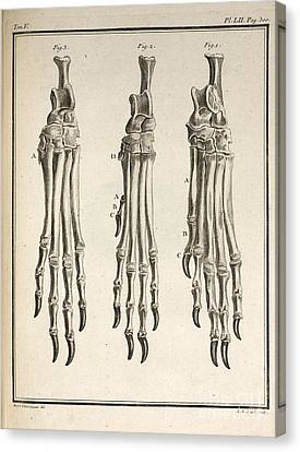 Variation Of Dog Feet, 1755 Canvas Print