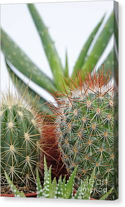 Varied Mini Cactus In Pots Canvas Print by Sami Sarkis