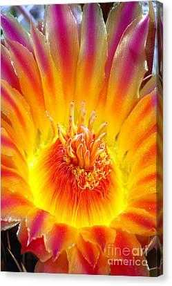 Variegated Barrel Cactus Flower Canvas Print by Douglas Taylor