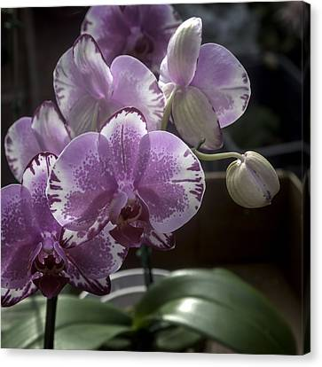 L. Palmer Canvas Print - Variegated Fuscia And White Orchid by Lynn Palmer