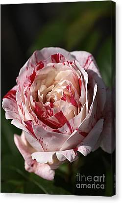 Canvas Print featuring the photograph Variegated Rose by Joy Watson