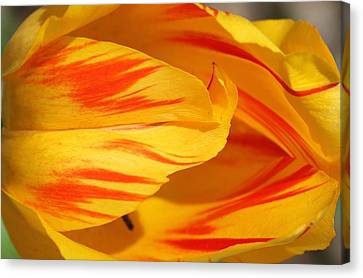 Variegated Tulip 2 Canvas Print by  Andrea Lazar