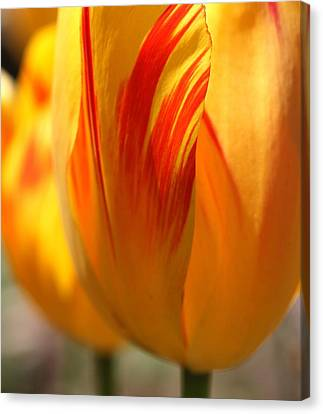 Variegated Tulip Canvas Print by  Andrea Lazar