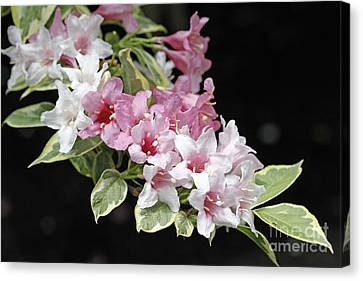 Variegated Weigela Canvas Print by Denise Pohl