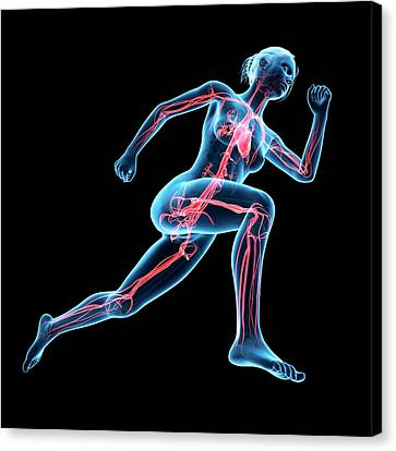 Vascular System Of Jogger Canvas Print