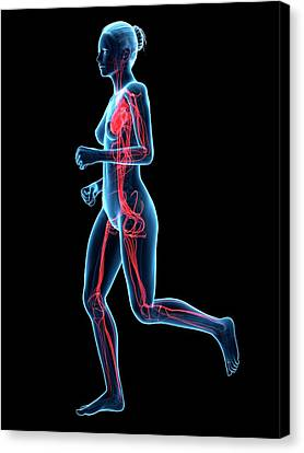 Vascular System Of Runner Canvas Print