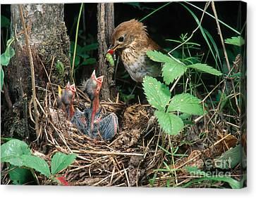 Veery At Nest Canvas Print by Anthony Mercieca