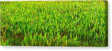 Vegetation, Boynton Beach, Florida, Usa Canvas Print by Panoramic Images