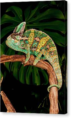Veiled Chameleon, Chamaeleo Canvas Print by David Northcott