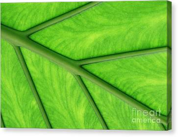 Canvas Print featuring the photograph Veins Of Life by Judy Whitton