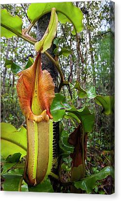 Veitch's Pitcher Plant Canvas Print by Alex Hyde