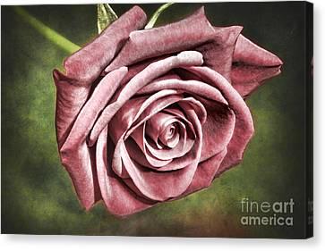 Velvet Rose Canvas Print by Mariola Bitner