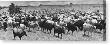 Venezuela Cattle Round-up  Canvas Print by Retro Images Archive