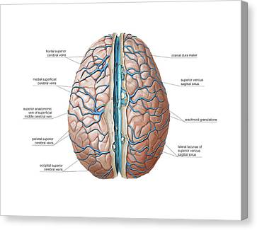 Venous System Of The Brain Canvas Print by Asklepios Medical Atlas