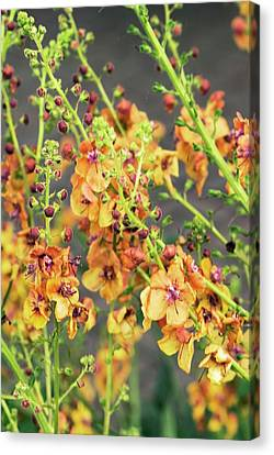 Verbascum 'clementine' Flowers Canvas Print by Adrian Thomas