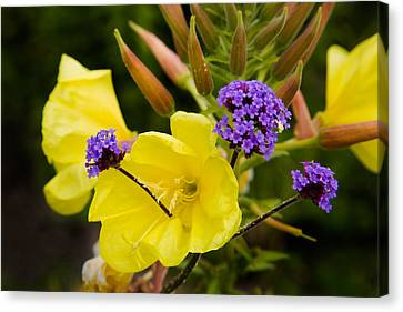 Verbena Bonariensis And Evening Canvas Print by Panoramic Images