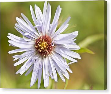 Vermont Aster Canvas Print