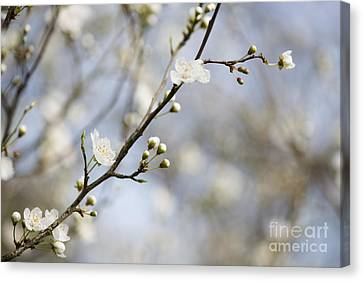 Close Focus Floral Canvas Print - Very Nearly Spring by Anne Gilbert
