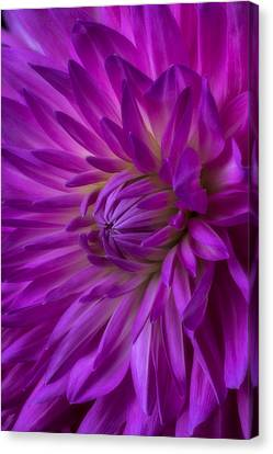 Very Pink Dahlia Canvas Print by Garry Gay