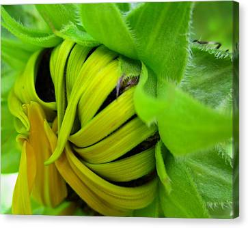 Very Shy Sunflower Canvas Print