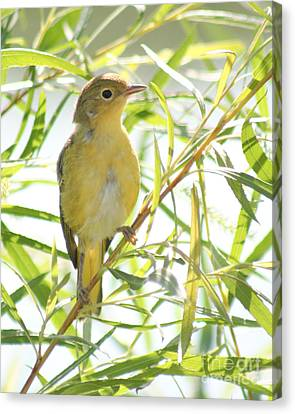 Canvas Print featuring the photograph Very Yellow Warbler by Anita Oakley