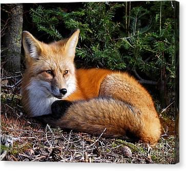 Vested Fox Canvas Print
