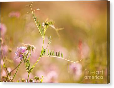 tendrils of Vicia or Vetch and pink Clover  Canvas Print