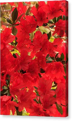 Canvas Print featuring the photograph Vibrant Azalea by Patricia Schaefer