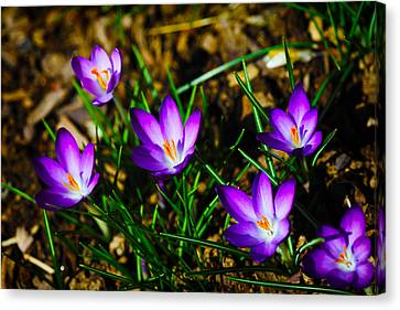 Vibrant Crocuses Canvas Print by Karol Livote
