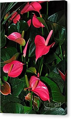 Crimson Lilies Canvas Print - Vibrant Flamingo Lilies - Anthurium by Kaye Menner
