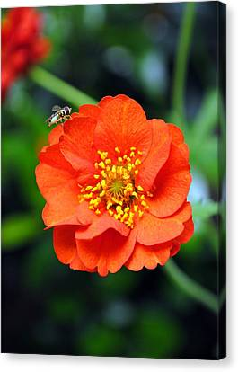 Canvas Print featuring the photograph Vibrant Pop Of Orange by Kelly Nowak