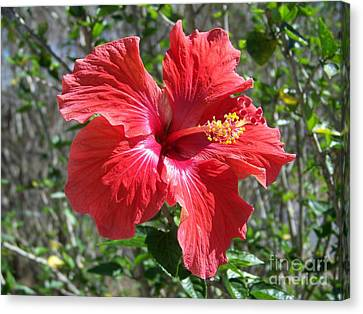 Vibrant Red Hibiscus Blossom Canvas Print by Gary R  Photography